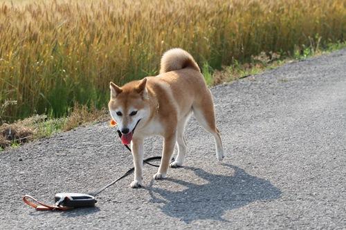 IMG_みかん麦畑お散歩2