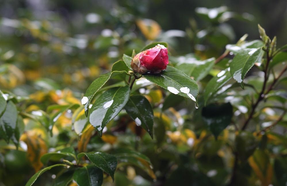 ブログ椿散花2