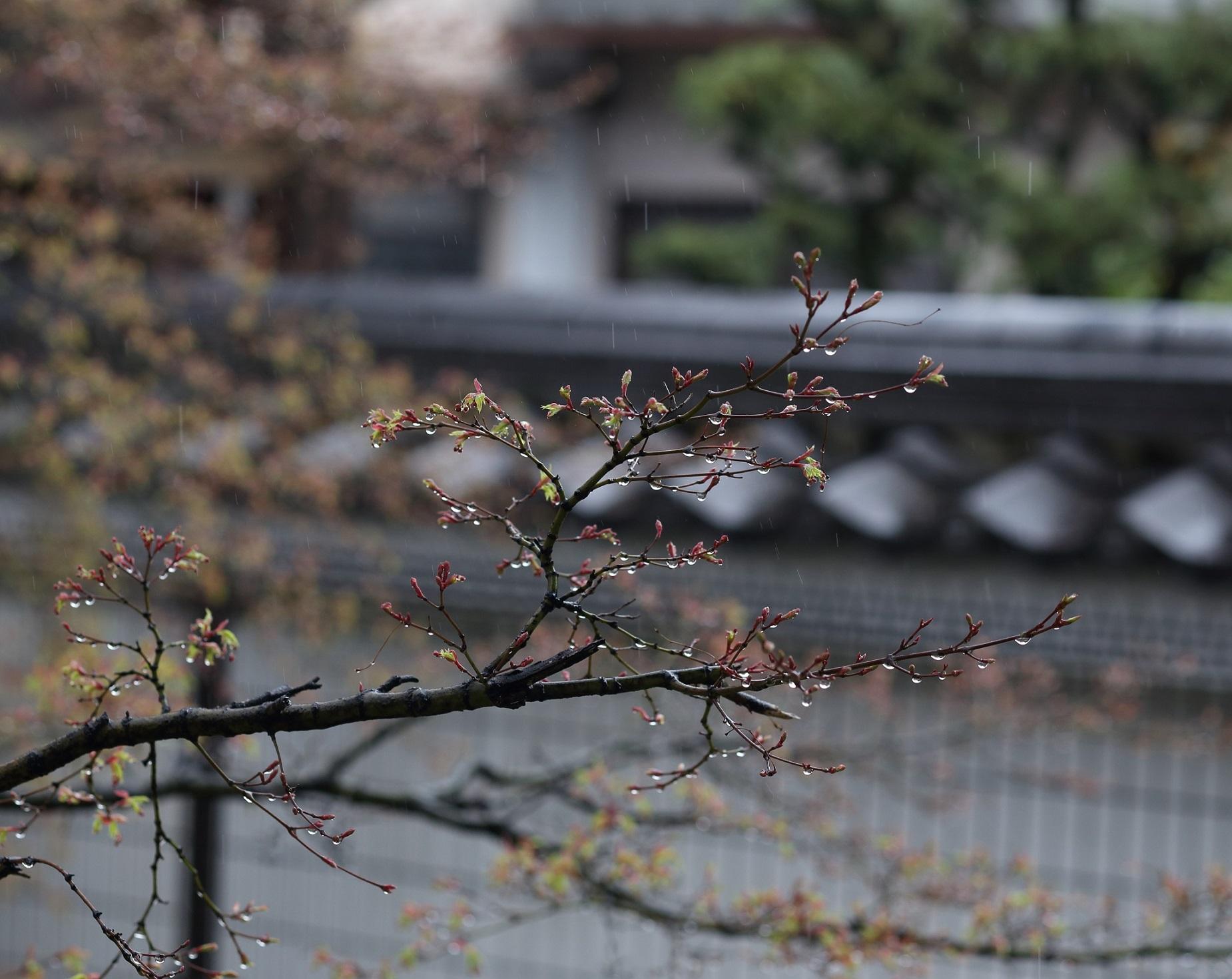 ブログ本満寺雨散花