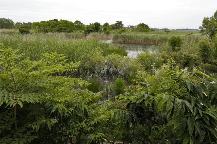 琵琶湖にそそぐ川葦の湿原1