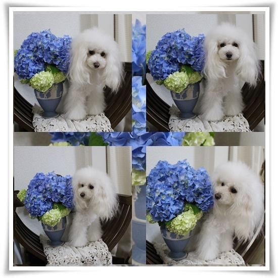 六花と紫陽花♪