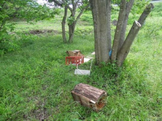 日本蜜蜂 熊被害2