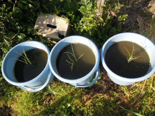 米 バケツ栽培H2505