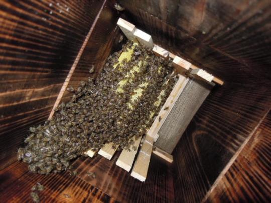 2015年 日本蜜蜂 分蜂群1