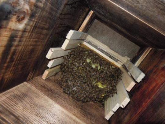 2015年 日本蜜蜂 分蜂群2