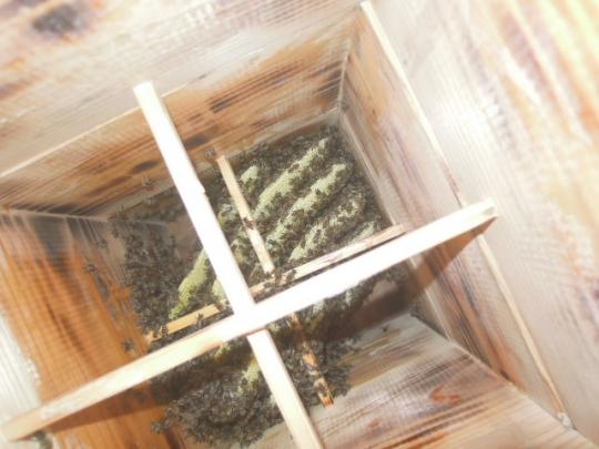 2015年 日本蜜蜂 分蜂群3