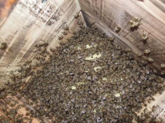 2015年 日本蜜蜂 分蜂群5