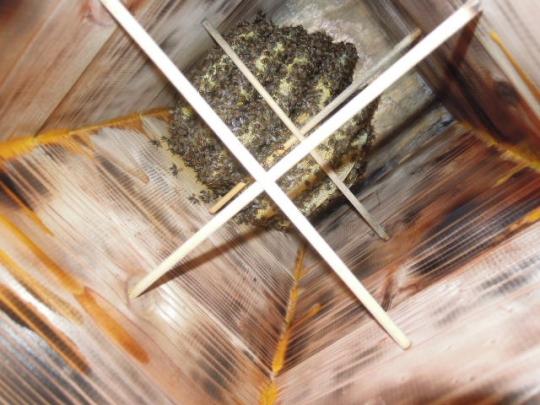 2015年 日本蜜蜂 分蜂群4