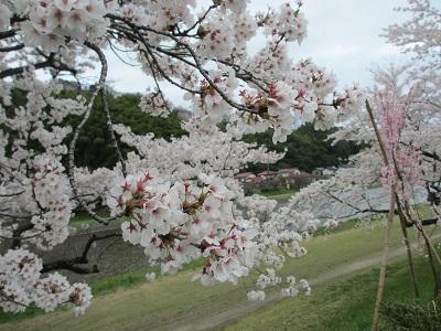 桜2015-4