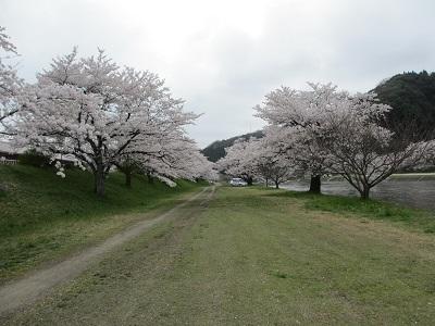 桜2015-6