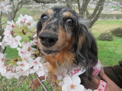 桜と実結2015