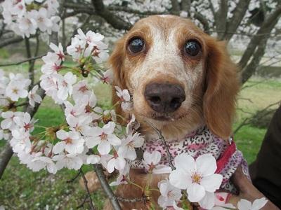 桜と笑花2015