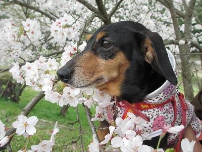 桜と姫2015