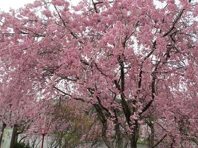 枝垂桜2015