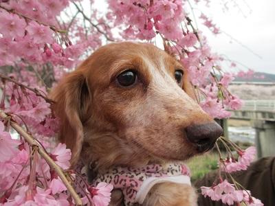 枝垂桜と笑花2015