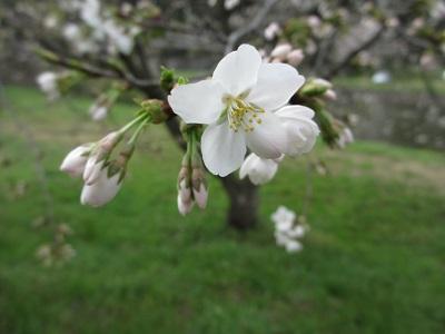 遅咲きの桜さん