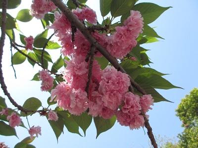 観光庭園の中の八重桜さん