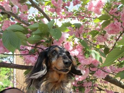 八重桜と実結 2015
