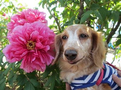 牡丹と笑花2015-2