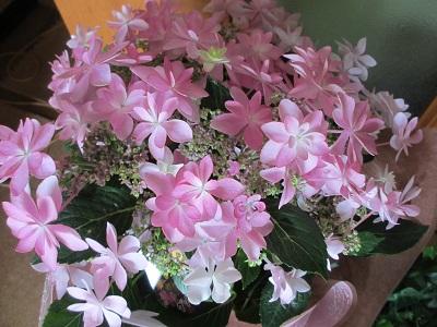 可愛い紫陽花「ダンスパーティー」