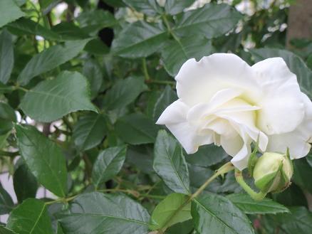 白いバラ 001