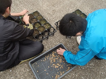 菊座かぼちゃ 播種