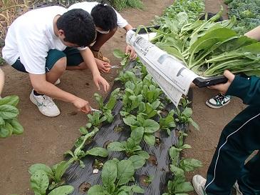 安藤早生 収穫1