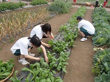 安藤早生 収穫2