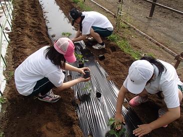 三河島大豆 緑化苗定植
