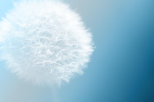 dandelion-501190_640.jpg