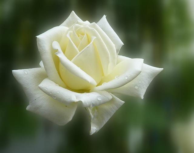 rose-140446_640.jpg