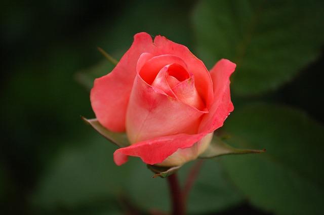 rose-591087_640.jpg