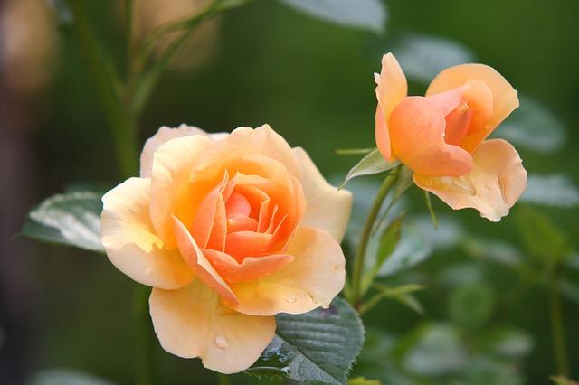 rose-616013_640.jpg