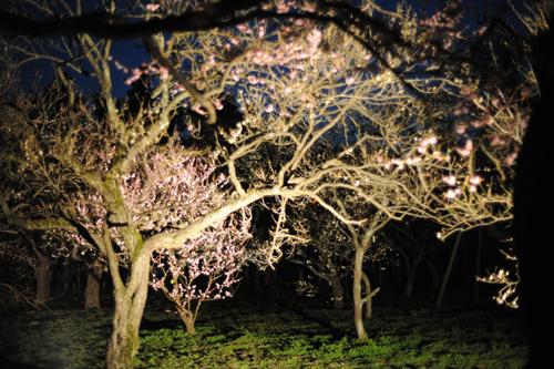 偕楽園の梅2015_19