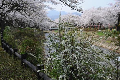 笹原川千本桜06