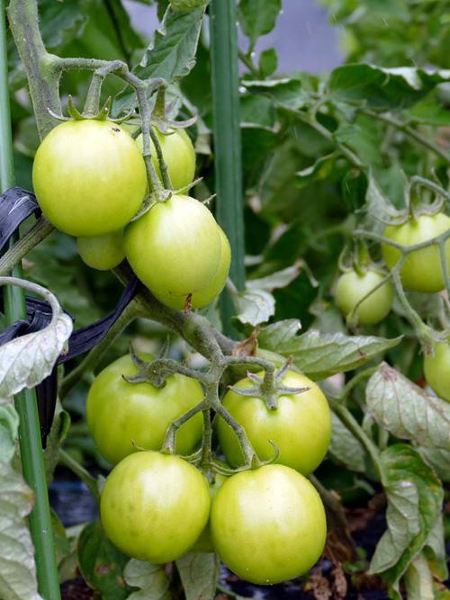 ポモドーロトマト