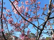 河津桜2015