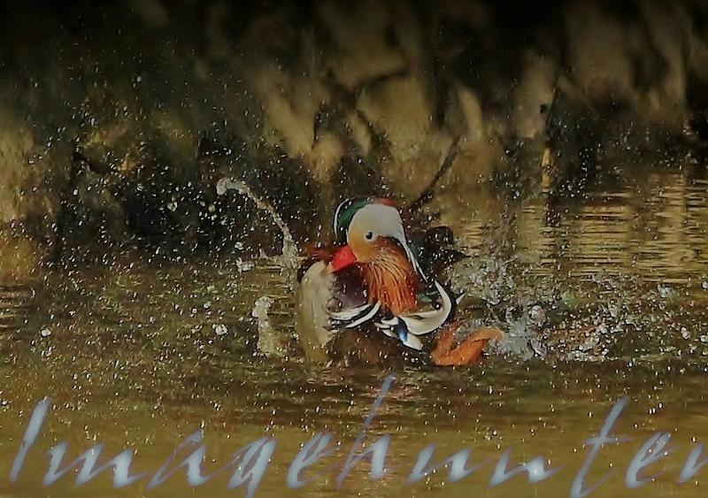オシドリ水浴び (800x563)