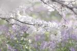 桜と紫の花