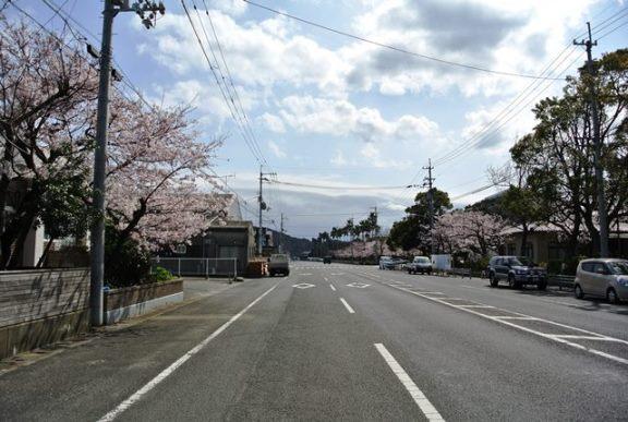 津田海岸町の桜