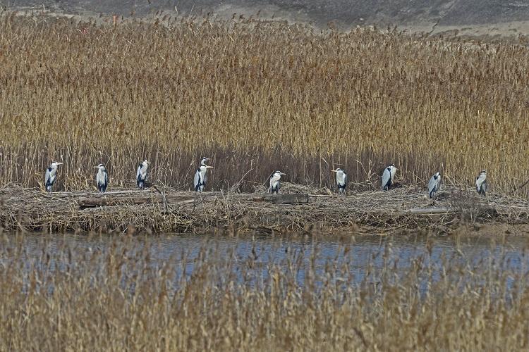 アオサギ集団
