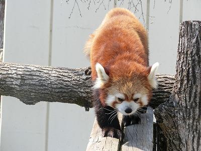 釧路レッサーパンダ