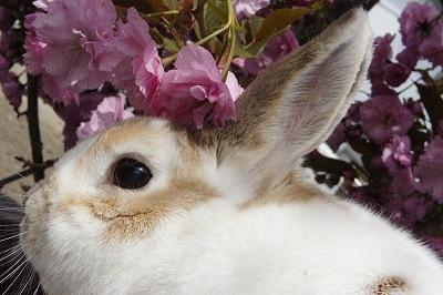ルナの桜便り2015-3