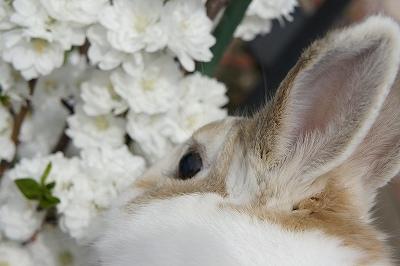 ルナの桜便り2015-5