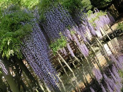 出雲大社 藤の花