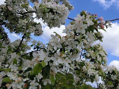 五稜郭リンゴの花