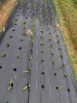 今頃、玉ねぎ植え5