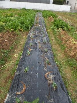 そら豆の苗どうにか植えた11