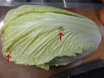 白菜の中に再び虫食い