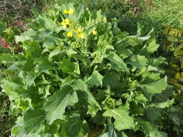 菜の花つぼみいっぱい